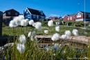 Wollgras und bunte Häuser - Ilulissat