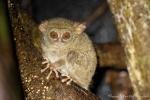 Koboldmaki (Tarsius Tarsiidae) - kleine, nachtaktive, baumbewohnende Affenart