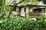 Bei uns sind es eher bescheidene Zimmerpflanzen; hier wachsen sie wie Unkraut - Blattfahnen in einem Vorgarten