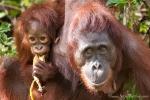 Orang Utan-Weibchen mit ihrem Nachwuchs