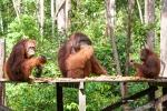 Orang Utans auf der Fütterungsplattform