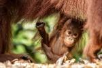 Dieses Orang Utan-Baby ist noch ganz neu