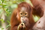 Angst oder eher Neugier - junger Orang Utan