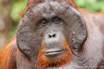 Erwachsenes Orang Utan-Männchen mit großen, auffälligen Wangenwülsten