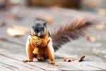 Ein Schönhörnchen (Callosciurinae) holt sich die Reste der Früchte