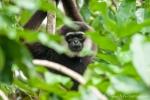 Gibbons (Hylobatidae)
