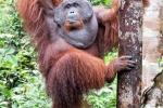 Der Orang Utan post wie ein Bodybuilder