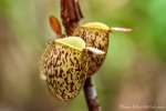 Kannenpflanze (Nepenthes)