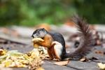 Auch für Schönhörnchen (Callosciurinae) gibt es hier Futter im Überfluss