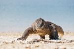 Endlich mal ein Komodowaran, der nicht nur faul herum liegt und uns auch groß genug ist