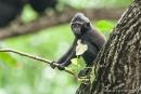 Kleiner Affe - kleiner Ast - Junger Schopfmakake (Macaca nigra)