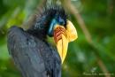 Nashornvogel