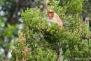 Junger Nasenaffe labt sich an süßen Blütenständen