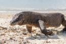Die Warane auf der Insel Komodo sind noch größer als auf der Insel Rinca.