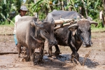 Wasserbüffel sind wichtige Helfer der Bauern