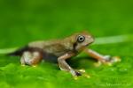 Java-Flugfrosch (Rhacophorus reinwardtii)