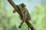 Makake auf Betteltour