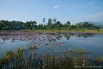 Seerosenteich bei Cangkuang