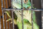 Auch ihn möchte man am liebsten gleich befreien - Tier- und Vogelmarkt Yogyakarta