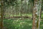Kautschukplantage