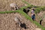 Büffel helfen bei der Feldarbeit