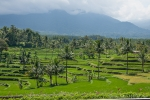 Das Ijen-Resort befindet sich mitten in Reisfeldern