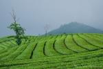 Teeplantage bei Bandung