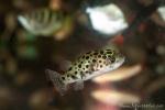 Kugelfisch - Tier- und Vogelmarkt Yogyakarta