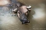 Der Wasserbüffel nimmt nach getaner Arbeit ein Bad