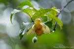 Eine Blüte wie aus Porzellan mit faszinierendem Duft nach Aprikose