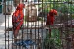 Rote Loris - Tier- und Vogelmarkt Yogyakarta