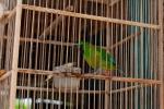 Je hübscher und singfreudiger der Vogel, umso sicherer ist ihm die Gefangenschaft - Tier- und Vogelmarkt Yogyakarta