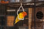 Teilweise werden die Vögel sogar gefärbt; wie z. B. hier der Kopf - Tier- und Vogelmarkt Yogyakarta
