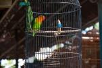 Auch der schönste Käfig macht die Gefangenschaft nicht besser - Tier- und Vogelmarkt Yogyakarta