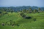 Die berühmten Reisterrassen von Belimbing