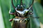 Dreihornkäfer (Chalcosoma atlas)