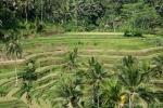 Reisterrassen in Tabanan