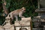 Auch vor dem Temple machen die Affen nicht Halt - Affenwald Sangeh