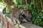 Familienglück im Affenwald Sangeh