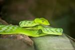 Grüne Peitschennatter (Ahaetulla prasina), Green Vine Snake