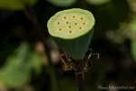 Samenstand einer Lotusblüte