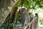 Im Affenwald Sangeh regieren die Langschwanzmakaken