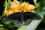 Tropischer Schmetterling