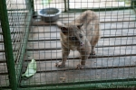 Fleckenmusang (Paradoxurus hermaphroditus). Seine Katzenkacke ist für den Kopi Luwak - den teuersten Kaffee der Welt - verantwortlich .