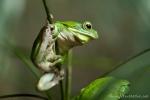 Riesenlaubfrosch (Litria infrafrenata), Giant treefrog