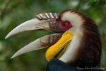 Furchenhornvogel (Rhyticeros undulatus), Wreathed Hornbill