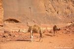 Diese Kamele scheinen nur auf Touristen zu warten