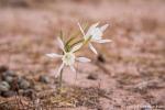 Kleine Wüstenblume