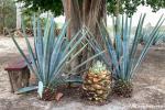 Agaven, aus denen der Tequila - das Nationalgetränk - gewonnen wird