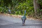 Wilde Truthähne auf dem Weg nach Calakmul